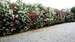 Download Large Evergreen Shrubs For Privacy Garden Design Fast Growing Privacy  Plants