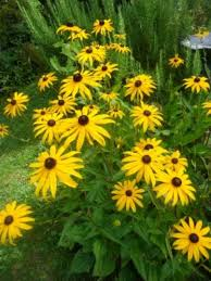rudbeckia is a stalwart in my garden with its bright yellow daisy like flowers in late summer this plant continues to bloom until late october and pairs