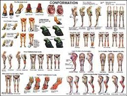 Www Horse Teeth Age Chart Equine Conformation Chart