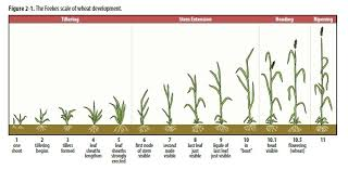 Winter Wheat Growth Stages Chart Agronomy Update