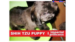 shihtzu puppy princess type 7 mos old chocolate blue quezon city philippines