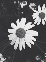 black and white flowers tumblr photography. Beautiful And Black And White Daisies Throughout And White Flowers Tumblr Photography A