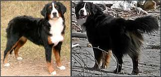 Bernedoodle Growth Chart Bernese Mountain Dog Puppy Growth