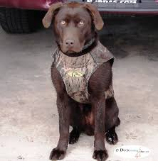 chocolate lab duck. Simple Duck If You Get The Dog From A Good Litter With Papers Health Clearances Etc  On Parents Color Doesnu0027t Matter I Would Suggest Chocolate And Chocolate Lab Duck O