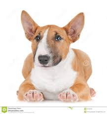 Light Box Terrier For Sale Red English Bull Terrier Puppy Stock Image Image Of