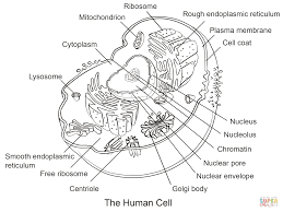 Human Cell Coloring Page From Anatomy
