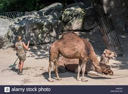 zookeeper cleaning. Exellent Zookeeper Zookeeper Cleaning Up The Dromedary Enclosure At Antwerp Zoo Belgium   Stock Image Inside Cleaning