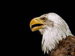 Eagle Pics Wallpaper