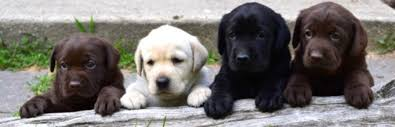 wele retriever puppies smithpoint retrievers retrievers s goldens black lab pups chocolate lab pups yellow lab pups
