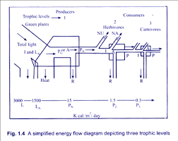 2 Models Of Flow Of Energy In An Ecosystem With Diagram