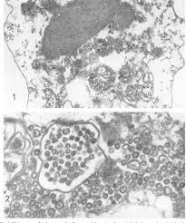 Use of allantoic cells for the detection of avian infectious bronchitis  virus | Semantic Scholar