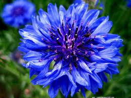 """Résultat de recherche d'images pour """"bleuet fleur"""""""