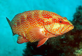 Australian Reef Fish Species Chart Coral Reef Fish Wikipedia