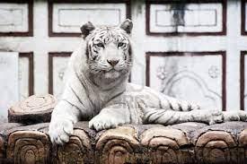 Tigre bianca | Tigre bianca, Immagini, Sfondi iphone