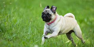 Pug Dog Vaccination Chart 3 Of The Best Collars For Pugs Youll Love