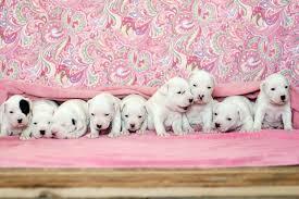 american bulldog newborn puppies. Delighful American Puppies And American Bulldog Newborn Puppies L