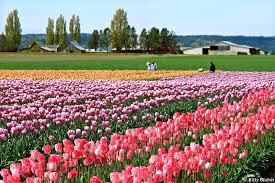 skagit valley tulip festival events exhibits