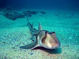 Разнозубообразные акулы heterodontiformes фото систематика  Австралийская бычья акула heterodontus portusjacksoni фото фотография рыбы