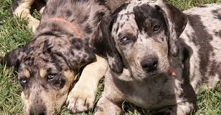catahoula leopard dog this hunting dog breed