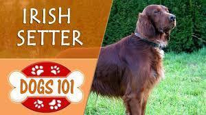Dogs 101 - IRISH SETTER - Top Dog Facts ...