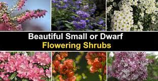 20 small or dwarf flowering shrubs