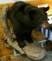 black bear front half mount walking rock ledge for 2500 00