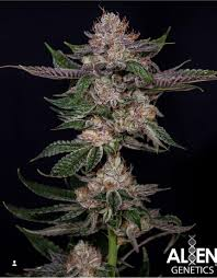 Alien Lights Strain Lemon Buttercream Alien Genetics Cannabis Strain Info