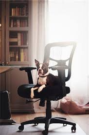 funny office chairs. Funny Office Chairs Pictures - Portrait Of Boston Terrier Lying Down Looking Out From Chair