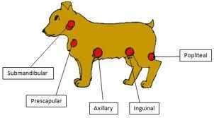 Dog Lymph Node Location Chart Canine Lymph Nodes Goldenacresdogs Com