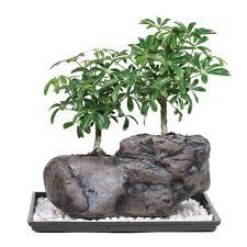 office bonsai. Brussel\u0027s Bonsai Dwarf Hawaiian Umbrella Tree On Rock Office I
