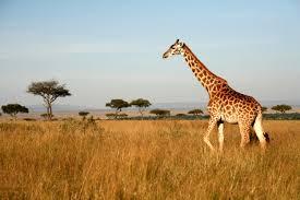 picture of a giraffe. Brilliant Picture And Picture Of A Giraffe