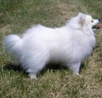 american eskimo dog miniature