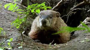 groundhog day essay english unite groundhog day archives english  blog the groundhog coming out of his burrow