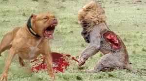pitbull dog vs lion. Perfect Pitbull Strongest Dog Vs Lion  Wild Real Fight Anidis To Pitbull Vs I