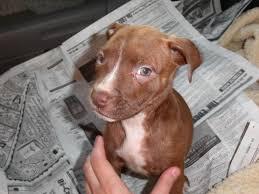 brown red nose pitbull puppies. Perfect Pitbull Full Blood Pitbull Puppy Throughout Brown Red Nose Pitbull Puppies T