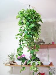 #Trailing Leaves - 27 Awesome #Indoor Houseplants to #Brighten up Your