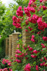 Small Picture Rose Garden Ideas Quick Guide For Climbing Roses With Sensible
