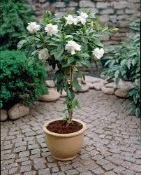 dreaded blackspot gardenia jasminoides