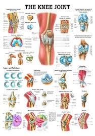 Laminated Anatomical Charts The Knee Joint Laminated Anatomy Chart Amazon Com
