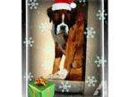 boxer dog for adoption in van nuys ca usa