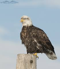 Bald Eagle Age Chart Bald Eagles Age Progression From One To Five Years Old