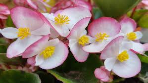 nia flower gentle pink yellow