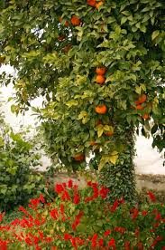 Tropical Fruit TreesSouthern California Fruit Trees
