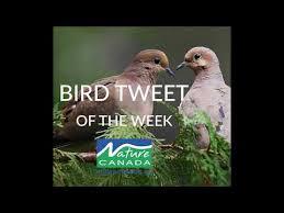 Mourning Doves Bird Tweet Of The Week Youtube