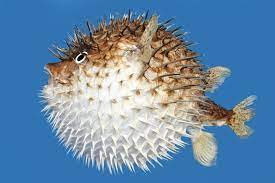 40 interesting puffer fish facts