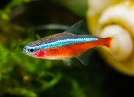 Glofish Light Bar Best Light For Neon Tetra Pogot Bietthunghiduong Co