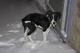 jack russell terrier border collie mix. Perfect Terrier Ollie A Jack Russell TerrierBorder Collie Puppy Throughout Terrier Border Mix