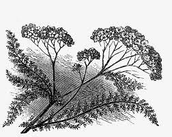 Aspen Drawing Botanical Vintage Wildflower Illustrations Black And