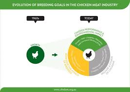 Chicken Meat Production Acmf