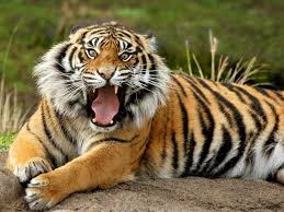 tiger wallpaper desktop background for wallpaper idea